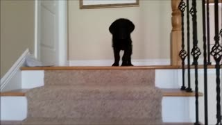 Labradoodle puppy conquers stairs