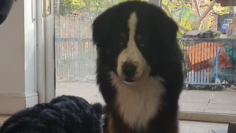 Hungry Bernese Mountain dogs are not happy dinner is late