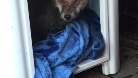 Injured fox found hiding in cat's bed after storm
