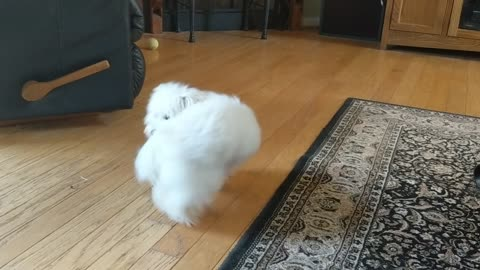 Adorable Pup Chases Tail When No One Else Plays With Her!