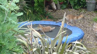 Wild Fox Cubs Cheerfully Play On A Backyard Trampoline - Video