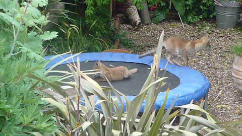 Wild Fox Cubs Cheerfully Play On A Backyard Trampoline