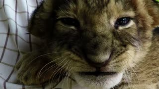 Adorable lion cub cuddled to sleep - Video
