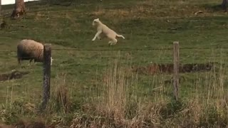 Sheep jumping around in lawn - Video