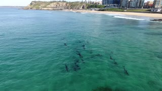 Drone Films Two Pods of Dolphins in Newcastle NSW Australia - Video