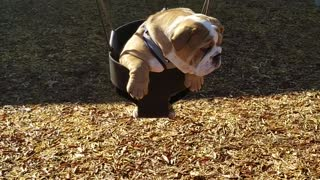 Bulldog puppy really enjoys swing at playground