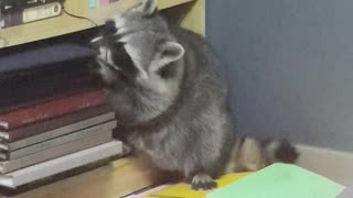 Raccoon messes up the house as usual.