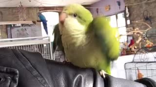 Happy Little Quaker Parrot - Video