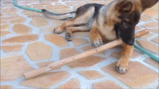 German Shepherd Puppy Dog Where did you find the stick - Video