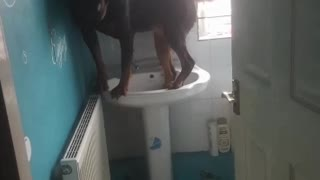 Adorable Rottweiler Stands in the Sink