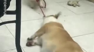 Corgi Drags Brother Across Floor - Video