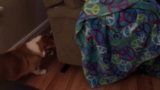 Curious corgi has mind blown by recliner noises