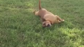 Brown dog rolling down a hill