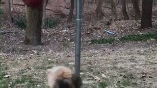 Blonde dog hits red tetherball in woods - Video