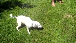 3-legged puppy chases the water  - Video