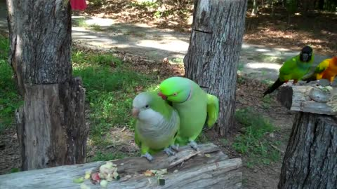 Parrots in nature