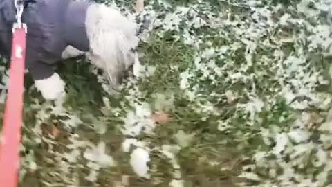 Dog barks at a small snowman on grass field