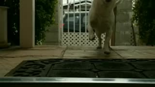 White dog runs into house from outside - Video