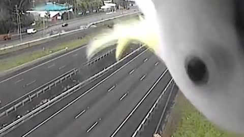 A Curious Cockatoo is Caught on Police Speed Camera