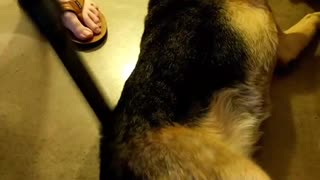 Brown dog is vaccumed - Video
