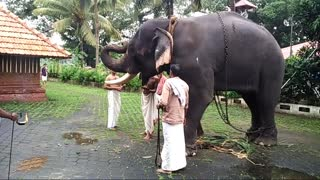 Traditional elephant feeding - Video
