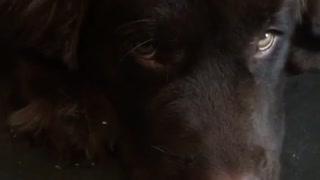 Giant Newfoundland puppy teething causes massive damage - Video