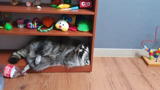 Pet raccoon decides to nap on uncomfortable bookshelf