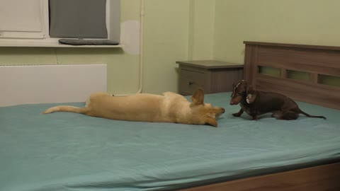 Dachshund patiently waits for dog to wake up for playtime