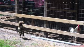 Chickens moving around making sounds  - Video