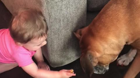 Baby preciously feeds her boxer buddy