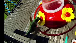 Slow motion effect captures hummingbird's incredible flight - Video