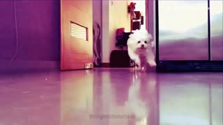 Music small white maltese dog comes running into a kitchen