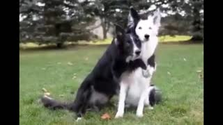 Dog black love Dog White - Video