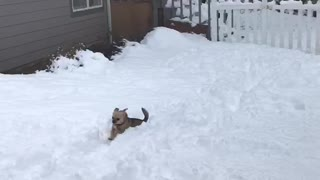 Tiny dog can't jump through the snow. - Video