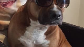 Cool dog in shades  - Video