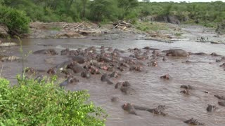 30 Hippos Attack One Crocodile - Video
