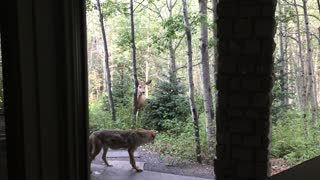 Deer Chasing Coyote - Video