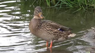 Amazing Female Duck Waiting For Her Husband At Water Edge