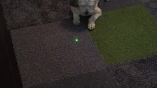 Dog chase green laser - Video