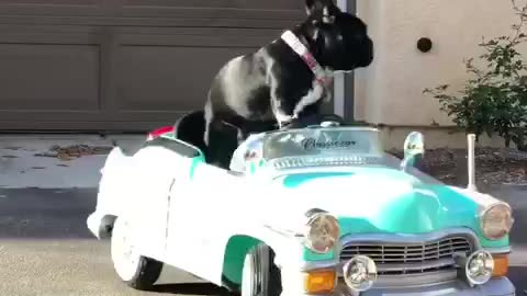 @rockerthefrenchie cruising in his classic car