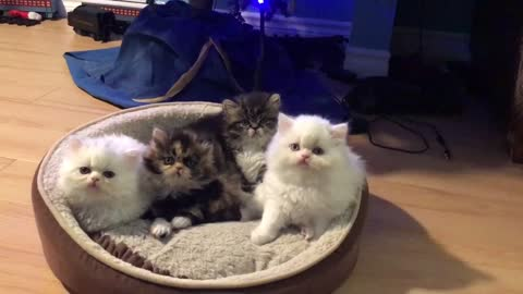 Persian kittens perform head tilt in sync