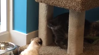 Puppy tries to befriend cat  - Video
