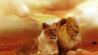 amazing lions couple