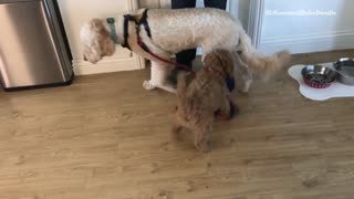 Small brown dog wants to take larger dog on a walk