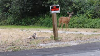 Curious Deer vs. My House Cat - Video