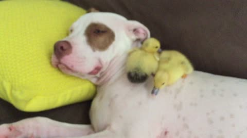 Rescue puppy napping with his foster baby ducklings