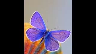About Beauty of Butterflies - Video