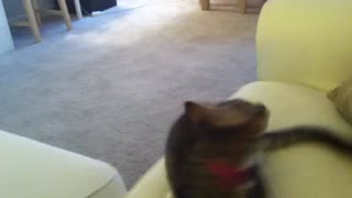Cat knows how to play fetch!