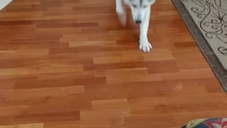 Husky demonstrates how to sploot  - Video