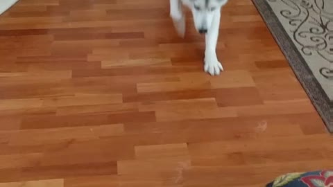 Husky demonstrates how to sploot